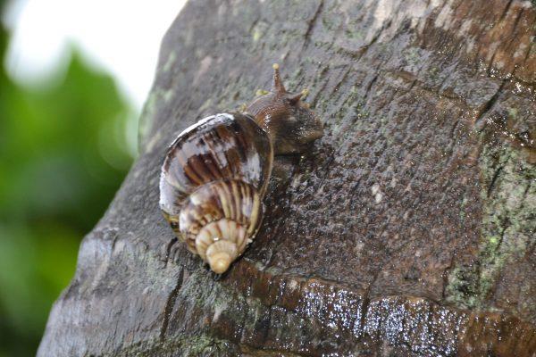 Vigilância Ambiental alerta sobre riscos à saúde causados pelo caracol africano